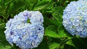 Flores azules claras de la hortensia del primer entre las hojas verdes