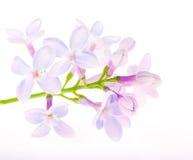 Flores azules claras de la lila en blanco Foto de archivo libre de regalías