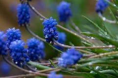 Flores azules con descensos de rocío imágenes de archivo libres de regalías