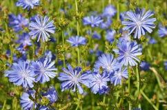 Flores azules de la achicoria Imagen de archivo libre de regalías