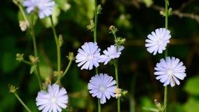 Flores azules de la achicoria salvaje almacen de video