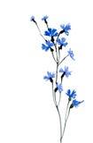 Flores azules de la acuarela en el fondo blanco Foto de archivo libre de regalías