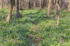 Flores azules de la gloria-de--nieve Imagen de archivo