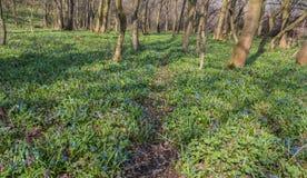 Flores azules de la gloria-de--nieve Fotografía de archivo