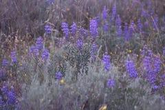 Flores azules de la hora Foto de archivo libre de regalías