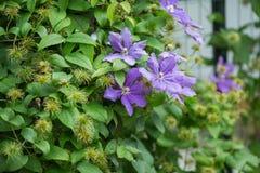 Flores azules de la hortensia Fotos de archivo