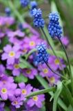 Flores azules de la primavera en el jardín imagen de archivo libre de regalías