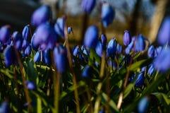 Flores azules de la primavera en fondo verde Imágenes de archivo libres de regalías