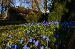 Flores azules de la primavera en fondo verde Imagen de archivo libre de regalías