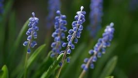 Flores azules de la primavera en la hierba, foco selectivo almacen de metraje de vídeo