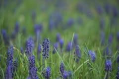 Flores azules de la primavera en una hierba verde Foto de archivo libre de regalías