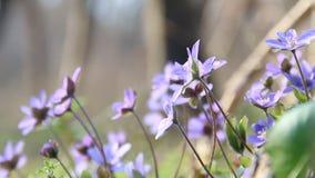 Flores azules de la primavera, fondo floral almacen de metraje de vídeo