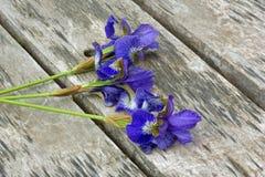 flores azules de los iris Imagen de archivo libre de regalías