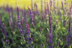Flores azules de Salvia que florecen en el campo con el fondo de la falta de definición imagenes de archivo
