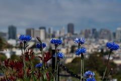 Flores azules de San Francisco 2 Imagenes de archivo