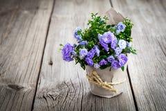 Flores azules de Terry de la campánula en el empaquetado de papel Imagen de archivo