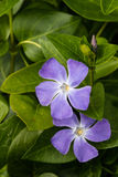 Flores azules del bígaro Foto de archivo libre de regalías