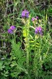 Flores azules del bosque Floración en la primavera en el bosque Fotografía de archivo