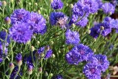 Flores azules del botón del soltero Imágenes de archivo libres de regalías