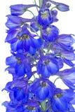 Flores azules del delfinio fotografía de archivo