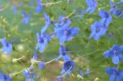 Flores azules del delfinio Imágenes de archivo libres de regalías