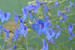 Flores azules del delfinio Imagenes de archivo