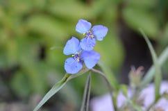 Flores azules del dianthifolia de Commelina Fotos de archivo