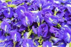 Flores azules del guisante de mariposa fotografía de archivo