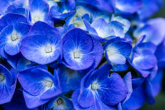 Flores azules del hortensia imágenes de archivo libres de regalías