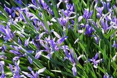 Flores azules del iris en un macizo de flores Prado de la flor en la primavera Foto de archivo libre de regalías