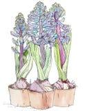 Flores azules del jacinto Fotografía de archivo libre de regalías