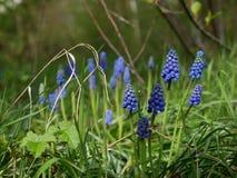 Flores azules del jacinto en la floración Fotografía de archivo libre de regalías