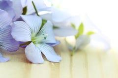 Flores azules del lino Fotos de archivo