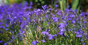Flores azules del lobelia Imagen de archivo