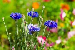 Flores azules del maíz Fotografía de archivo
