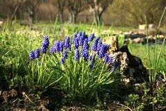 Flores azules del muscari foto de archivo libre de regalías