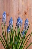 Flores azules del muscari Imagen de archivo libre de regalías