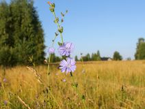 Flores azules del ordinario de la achicoria en el campo detrás del pueblo fotografía de archivo libre de regalías