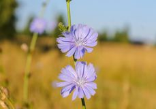 Flores azules del ordinario de la achicoria en un cierre del campo para arriba imágenes de archivo libres de regalías