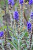 Flores azules del prado bajo la forma de velas Floración en comienzo del verano Foto de archivo libre de regalías