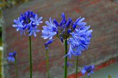 Flores azules del purpple en patio trasero Fotos de archivo