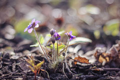 Flores azules del resorte Fotografía de archivo
