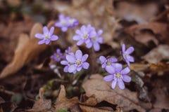 Flores azules del resorte Fotos de archivo