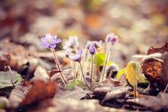 Flores azules del resorte Imagenes de archivo