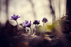 Flores azules del resorte Imágenes de archivo libres de regalías