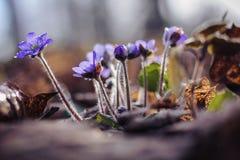 Flores azules del resorte Fotos de archivo libres de regalías