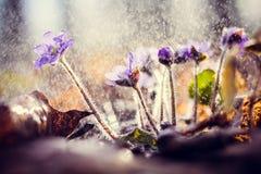 Flores azules del resorte Imagen de archivo libre de regalías