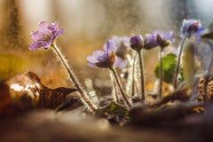 Flores azules del resorte Fotografía de archivo libre de regalías