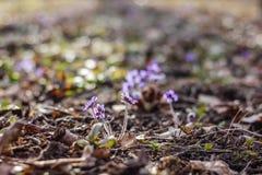 Flores azules del resorte Foto de archivo libre de regalías