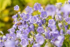 Flores azules del verano hermoso en el jardín de una abeja que vuela las flores Imagen de archivo libre de regalías